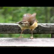 Carolina Wren Sit-Ups cute short 1080 HD