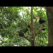 Rhinoceros Hornbill - Hornbills of Belum-Temengor