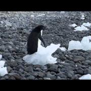 Voice of Adelie penguin