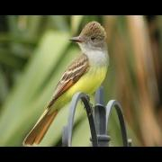 Great Crested Flycatcher Calls - Up Close!