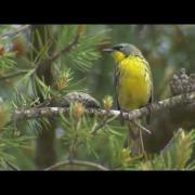 Endangered Species: Kirtland's Warbler