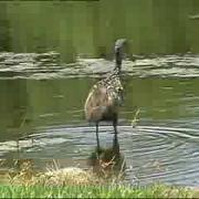 Limpkin feeding & calling (Aramus guarauna) Florida