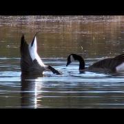 Canada Geese Feeding