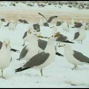 Wyoming Wildlife: Birds -  California Gull