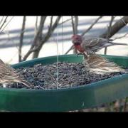Purple Finch vs House Finch comparison with feeder birds