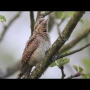 Krutihlav obecný - (Jynx torquilla) - Eurasian Wryneck - Wendehals