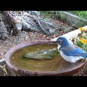 Western Scrub-jay bathing
