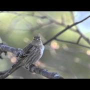 Pine siskins singing