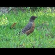 Birds USA... American Robin