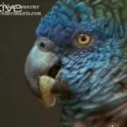 St Lucia parrot Amazona  ÿ®ÿ®ÿ∫ÿßÿ°