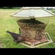 Birdcam 6-28-14 Female Brown-headed Cowbird Vocalizing