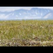 Spoon-billed Sandpiper: Breeding Season