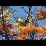 North American Wildlife --- Western Tanager, male & female