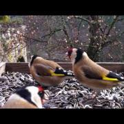 Incroyable vidéo de Chardonneret élégant en liberté - European Goldfinch