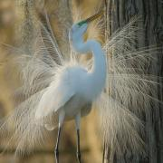 Great Egrets Lacy Courtship Birdnote >> Great Egret S Lacy Courtship Birdnote