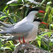 Great Egrets Lacy Courtship Birdnote >> Plumage Birdnote