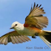 Great Egrets Lacy Courtship Birdnote >> Breeding Display Birdnote