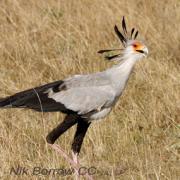 Great Egrets Lacy Courtship Birdnote >> Birdnote