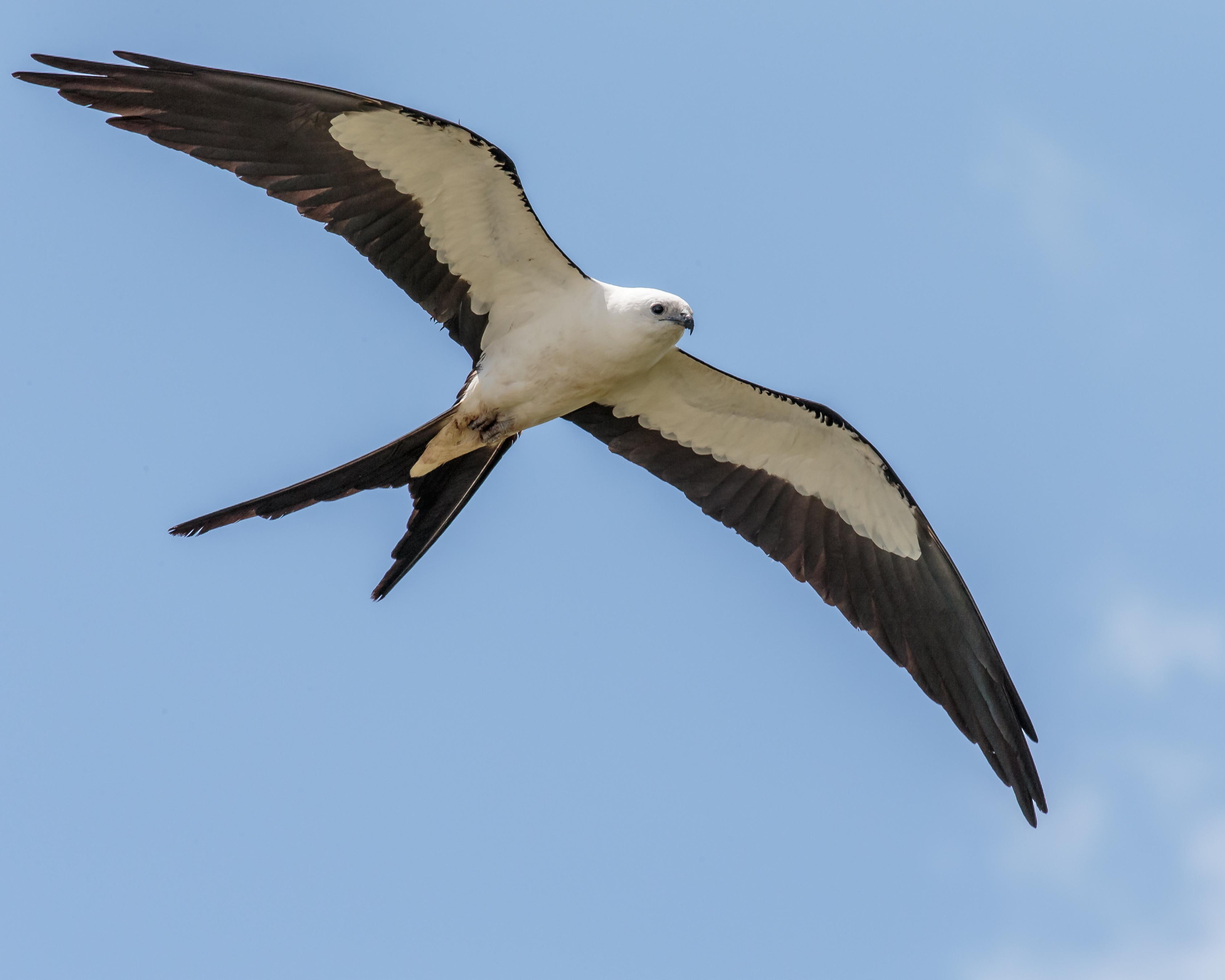 Swallow Tail Bird 9