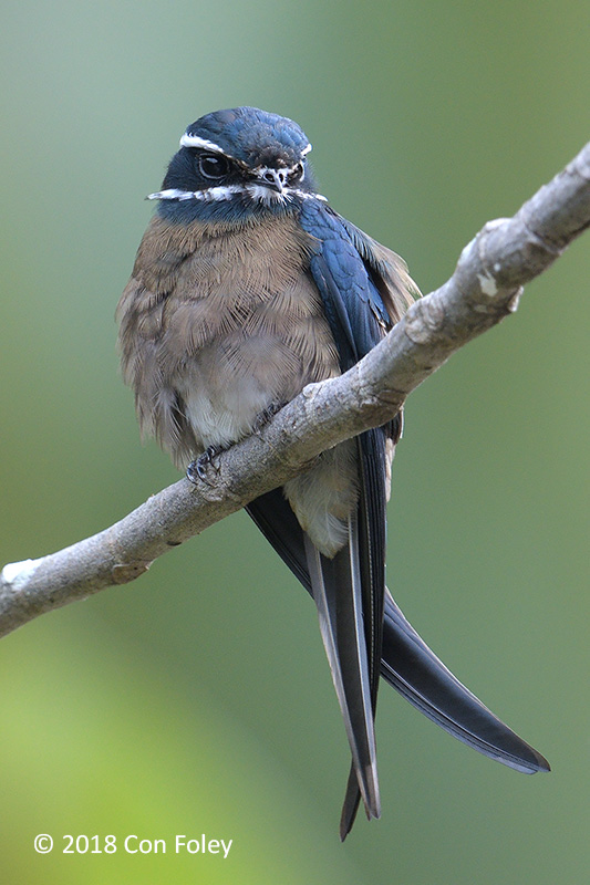 A female Whiskered Treeswift