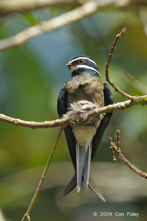 A female Whiskered Treeswift perched on nest