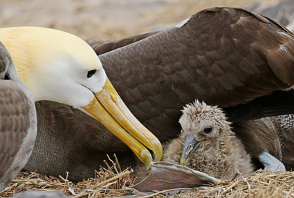 Waved Albatross with chick Galapagos
