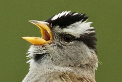 White-crowned Sparrow SUPPORT BIRDNOTE