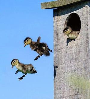 Wood Ducklings leaping Haig