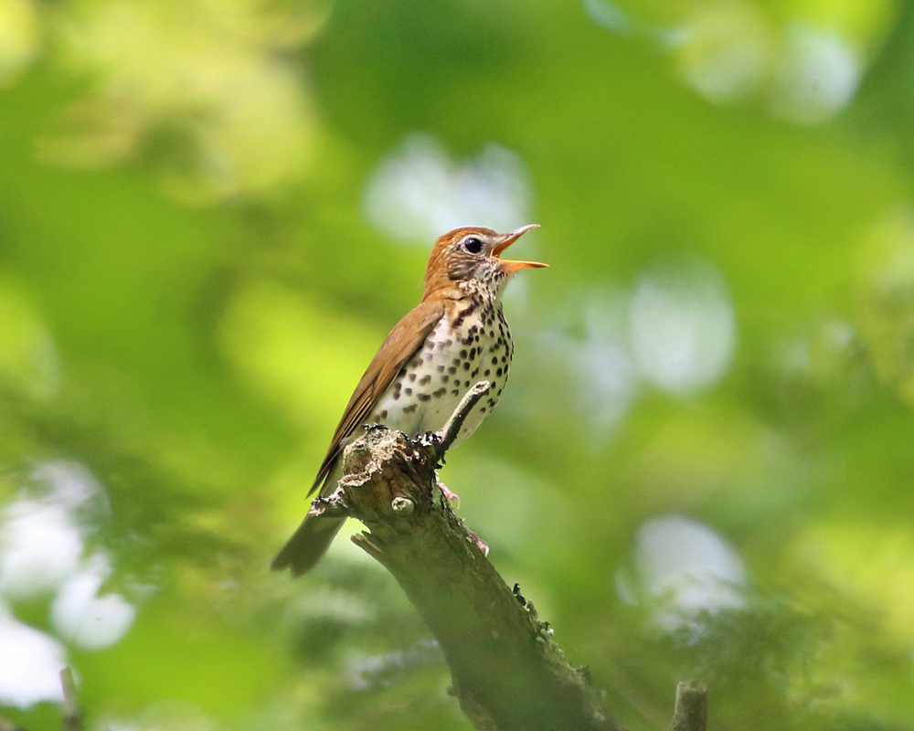 Henry David Thoreau And The Wood Thrush